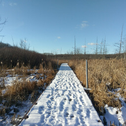 The snow blanketed boardwalk into tamarack filled wetlands
