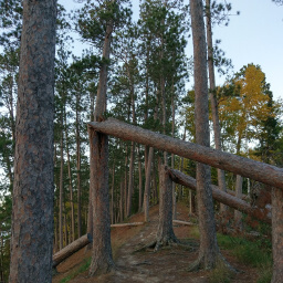 Wind damaged red pines create a tunnel on the trail
