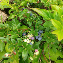 I ate way too many of these wild blueberries while on the trail