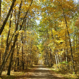 Trees with yellow autumn leaves line the dirt road