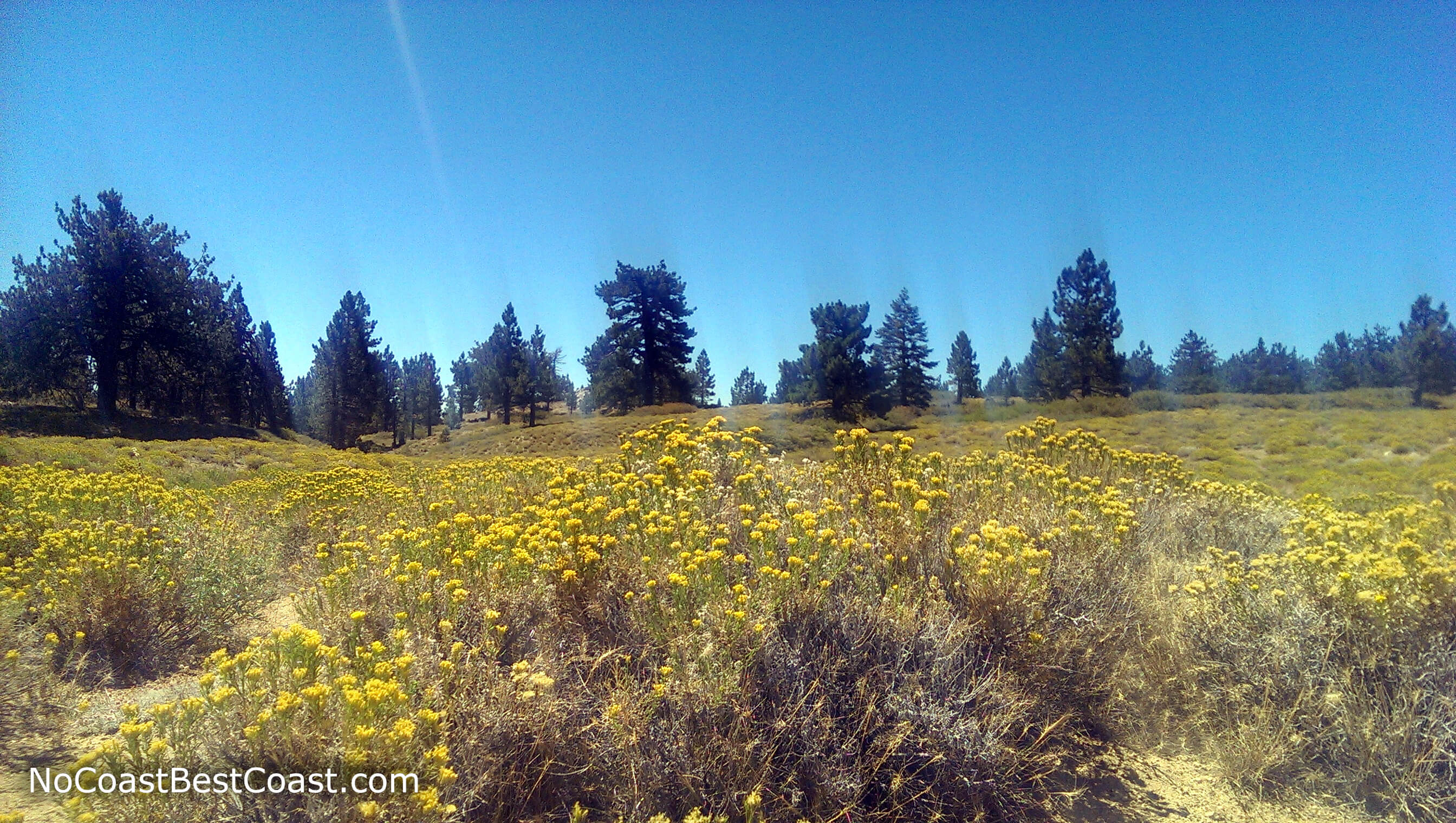 Yellow wildflowers blooming on Mount Pinos