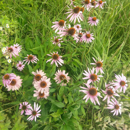 Purple coneflowers in the meadow