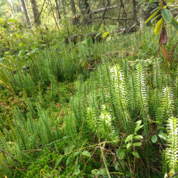 These bog plants emulate a miniature pine forest